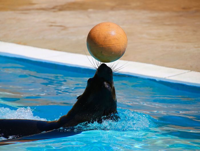 A seal with a ball