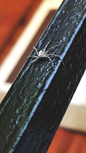 Spider Wood Web