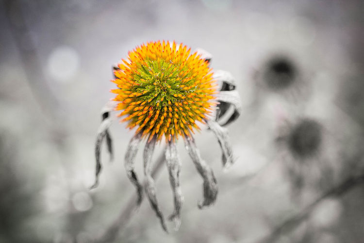 end of summer Beauty In Nature Close-up Day Echinacea Flora Flower Flower Head Fragility Freshness Garden Growth Nature No People Outdoors Petal Plant