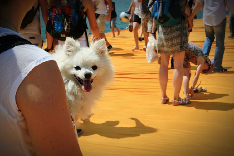 The Floating Piers Christo Lago D'Iseo Italy Dog Happiness Travel Photography Travelling EyeEm Best Shots Eye4photography  Yellow Pet Portraits Paint The Town Yellow