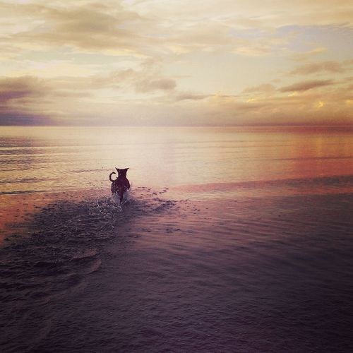Dog running in sea against sky during sunset