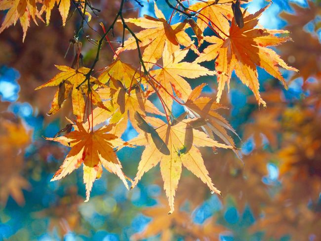 Autumn Leaf Change Maple Leaf Nature Maple Tree Leaves Beauty In Nature Day Maple Outdoors Growth Tree Close-up No People Scenics Fragility