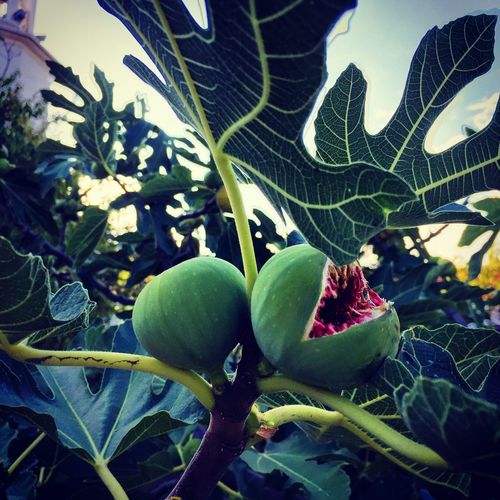 Fig Monsterous Creepy Leaf Plant Green Color No People Fruit Close-up Outdoors Beauty In Nature