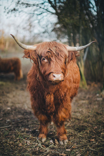 Highland cattle standing in a field