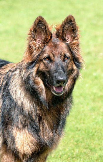 Dog Dog Photography Dog Portrait Dog Profile Dog Show German Shepherd No People Pets Portrait Taking Pictures