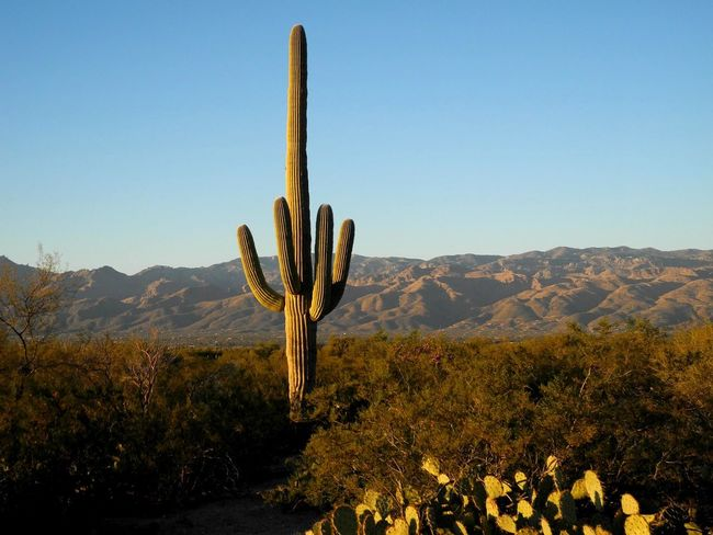 Arizona Arizona Landscape Desert Tranquility Wilderness Area Arid Climate Arizona Scenics Day Desert Beauty Green Cactus Growth Landscape Nature No People Outdoors PlandeDios Plant Saguaro Saguaro Cactus Saguaros Scenics Southwest USA Southwest Cactus Tranquil Scene