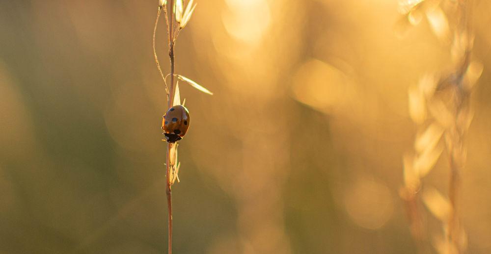 sunset bug