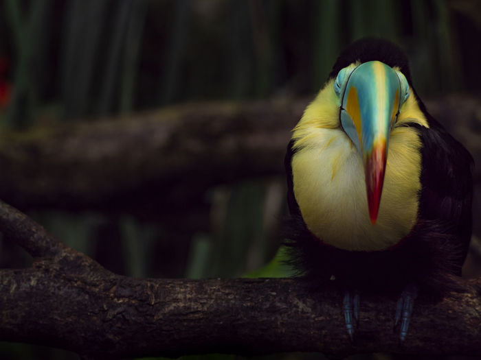 Tucano Dark Animal Animal Body Part Animal Themes Animal Wildlife Animals In The Wild Bird Branch Close-up Color In Nature Day Focus On Foreground Forest Nature No People One Animal Papiliorama Perching Selective Focus Tucan Tucano Vertebrate HUAWEI Photo Award: After Dark