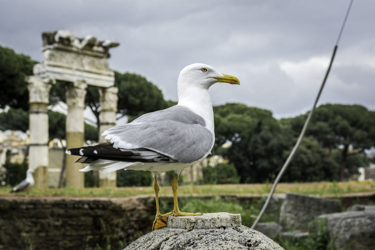 A seagull at the Roman Forum in Rome Ancient Animal Antique BIG Bird Empire Europe Forum Romanum Italia Italy Landmark Nature Roma Roman Rome Seagull Tourist Travel