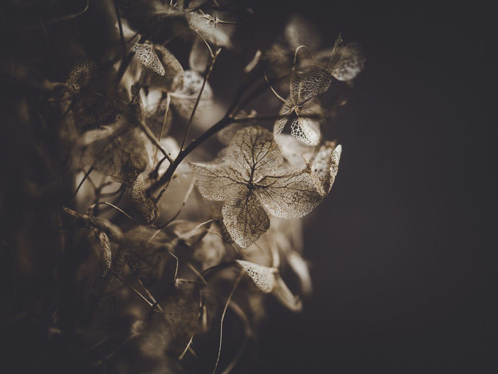 Dark and moody macro dead hydrangea skeleton Plant Flower Flowering Plant Beauty In Nature Fragility Close-up Growth Vulnerability  No People Nature Freshness Selective Focus Petal Day Dry Flower Head Outdoors Focus On Foreground Inflorescence Studio Shot Wilted Plant Softness