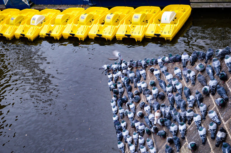 Large group of pigeons perching by canal