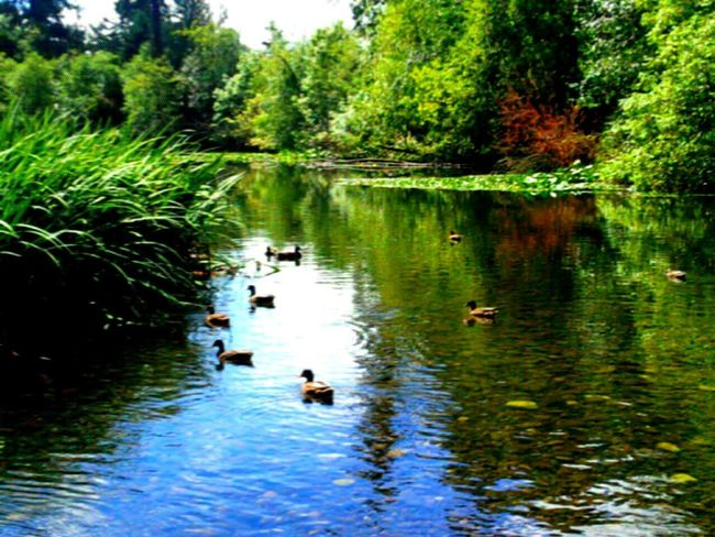 Spanaway Lake Nature Ducks At The Lake Reflections In The Water Pnwnaturescapes Pnwlove Pnwlife Pnw Wate Natures Natural Beauty Beauty In The Water