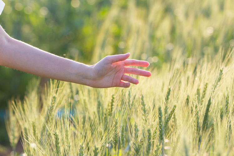 Barley Grain Cereal Seed Agriculture Wheat Bread Food Natural Crop  Farm Harvest Yellow Ear Corn Grow RYE Plant Ingredient Field Nature Grass Rural Background Countryside Sign Ripe Whole Set Stem Gold Oats Growth Straw Season  Rice Golden Bran Sunset Woman Hand Touch