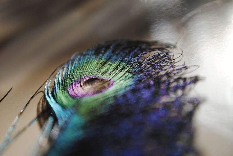 Macro shot of peacock feather