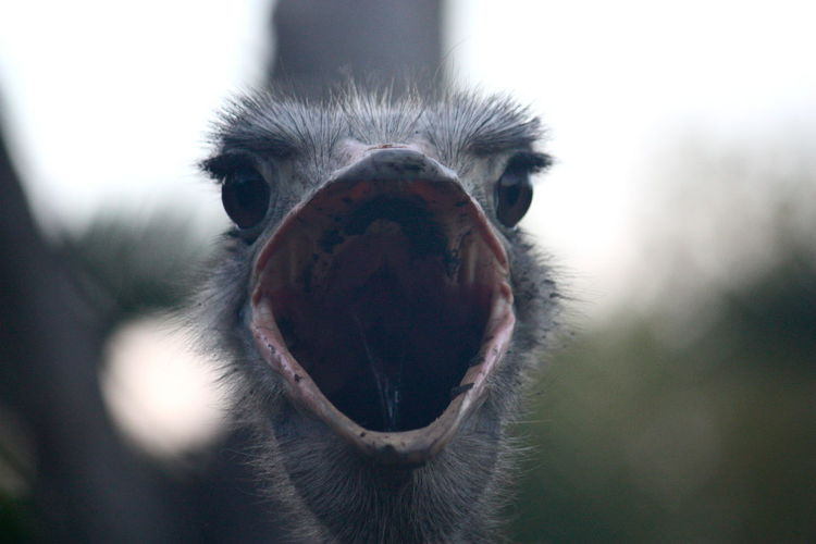 Animal Animal Head  Animal Themes Bird Close-up Domestic Animals Fun Nature No People Ostrich Outdoors Zoo