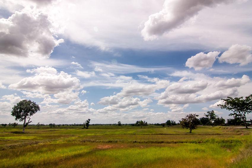 ASIA Cloud Daytime Field Midday Thai Thailand Tree Blue Sky Cornfield Cornfield And Sky Day Daylight Fields And Sky Midday Sun Sky