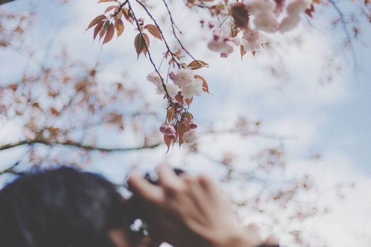 Close-up of person photographing cherry blossoms in spring