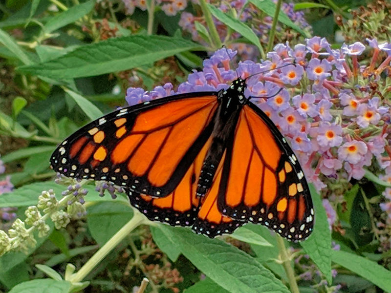 Monarch Butterfly Butterfly Flower Butterfly Flower Perching Butterfly - Insect Insect Spread Wings Close-up