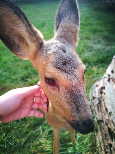 One Animal Human Body Part Human Hand Animal Themes Outdoors Animal Head  Grass Domestic Animals Young Roe Deer