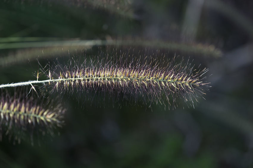 Close-up of fountain grass Grass Green Nature Backgrounds Beauty In Nature Close-up Focus On Foreground Fountain Grass Fragility Freshness Growth Outdoors Plant