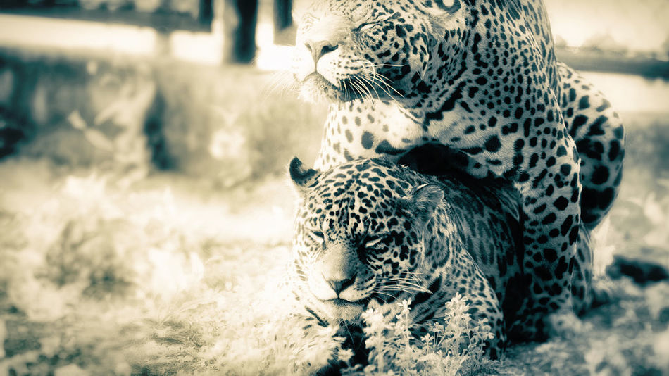 Multiply Animal Big Cat Leopard Resting Sexuality