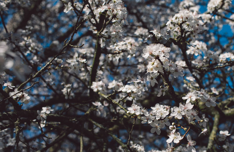 Flowering Plant Plant Flower Fragility Blossom Beauty In Nature Vulnerability  Tree Growth Springtime Branch Freshness Day White Color Nature Cherry Blossom Close-up Focus On Foreground No People Sunlight Cherry Tree Outdoors Flower Head Spring