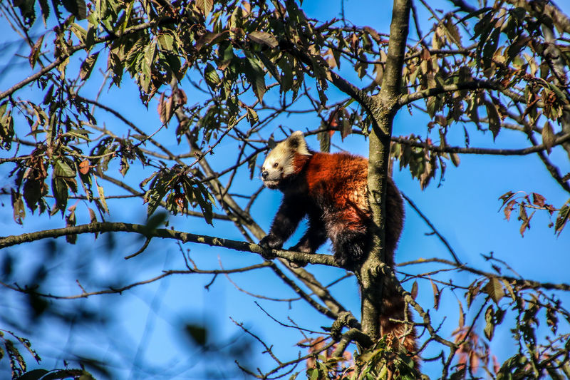 Low angle view of panda on tree against blue sky
