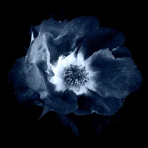 Rosa Noir Macro