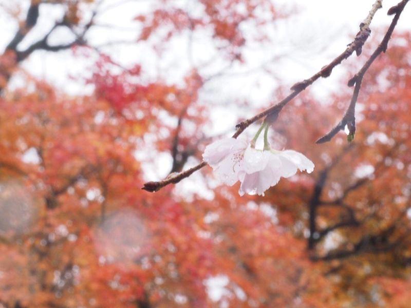 紅葉と不断桜 Nature Beauty In Nature Blossom Close-up Cherry Blossom Flower Outdoors Enjoying Life EyeEm Nature Lover EyeEm Best Shots Pink Color Macro Talking Photos