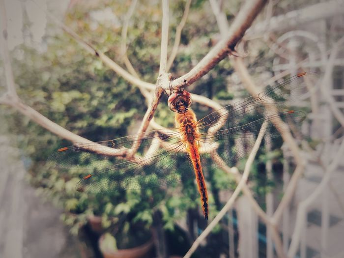 dragon can fly Dragonfly Insect Photography Orange Insect Dragonfly Photography Dragonfly Closeup Spider Spider Web Blooming Animal Wing Flapping In Bloom Growing