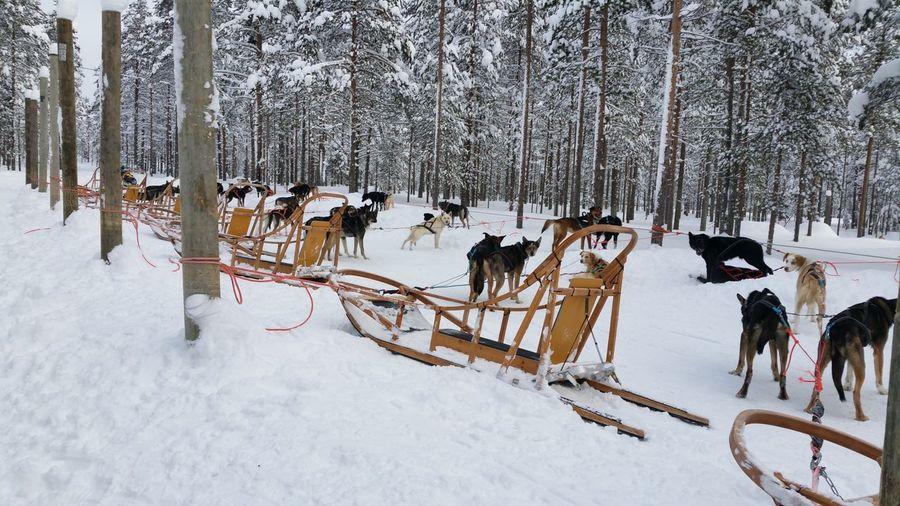 Listos para salir Rovaniemi, Finland Holidays Winter Domestic Tree Pets Outdoors