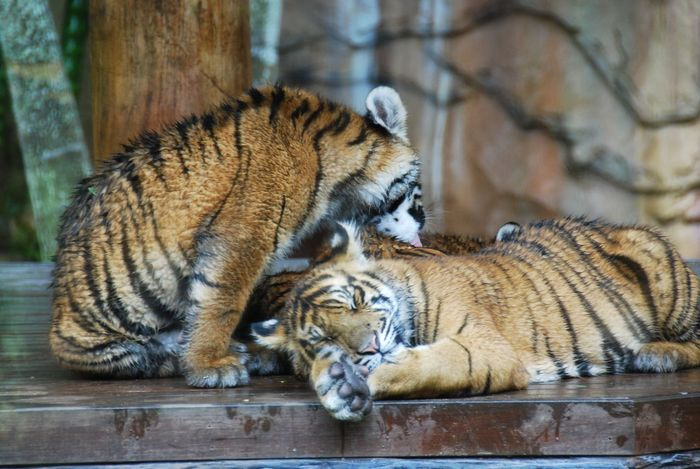 Enjoying Lying Down Mammal Relaxation Relaxing Sitting Taking Care Taking Care Of Each Other Tiger Wild Cats Zoology Young Tiger