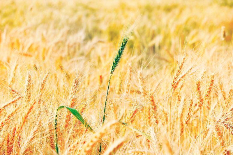 i have a slow start in my life.....but will rise up with this uniqueness🌾✨still there will be recognition of this existence ✨ Crop Field Sunlight Effect Golden Hour Nature Colours Of Nature Food Backgrounds Wheat Field Food And Agriculture Wheat Cereal Plant Rural Scene Agriculture Summer Field Timothy Grass Ear Of Wheat Gold Colored Stalk Growing Farmland Hay Bale Straw Blade Of Grass Young Plant The Minimalist - 2019 EyeEm Awards My Best Photo The Creative - 2019 EyeEm Awards Golden Whole Wheat