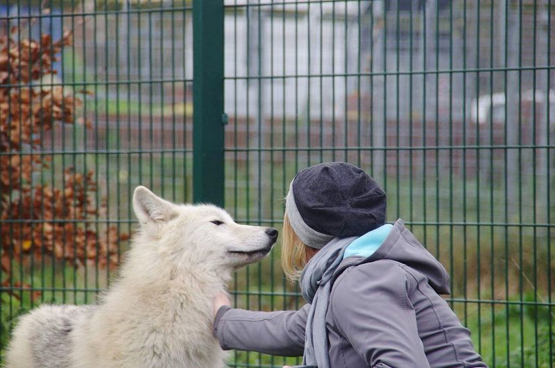 Wunderschönes wolfsmädchen Wolf Wolve Animal Themes One PersonEyeEm Selects One Animal People Cage Mammal Adult Pets Animals In Captivity Domestic Animals Touching Only Women One Woman Only Alpaca Outdoors Day Real People Adults Only Women Young Adult