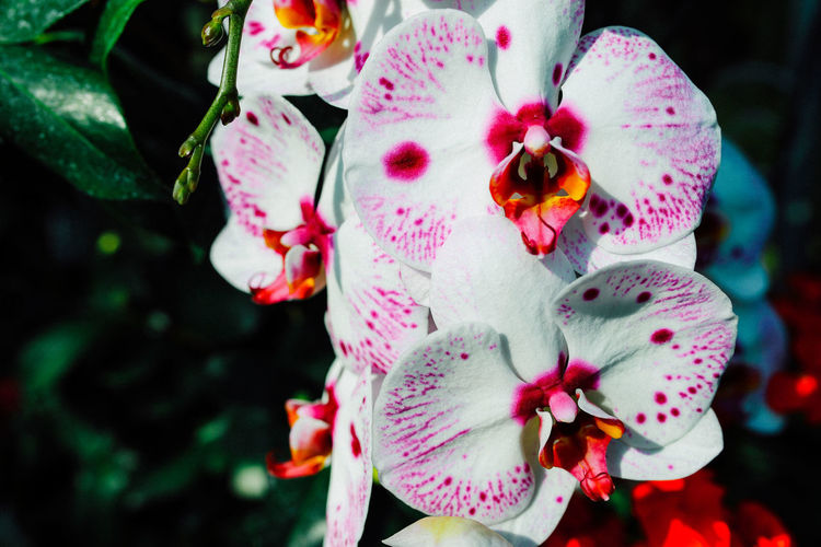 Orchid Flowering Plant Flower Plant Freshness Petal Fragility Vulnerability  Growth Pink Color Close-up Pollen Nature Outdoors Botany Springtime Focus On Foreground Beauty In Nature