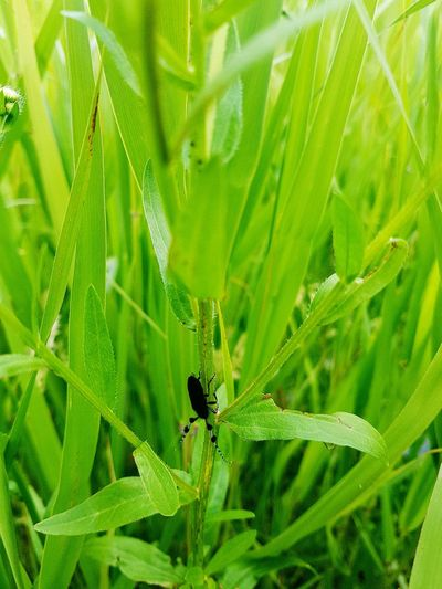 A black beetle on the grass Animals In The Wild Insect One Animal Animal Themes Nature Green Color Leaf Animal Wildlife Plant Outdoors Beauty In Nature Close-up Day Eyeemphotography Korea Summer Black Color