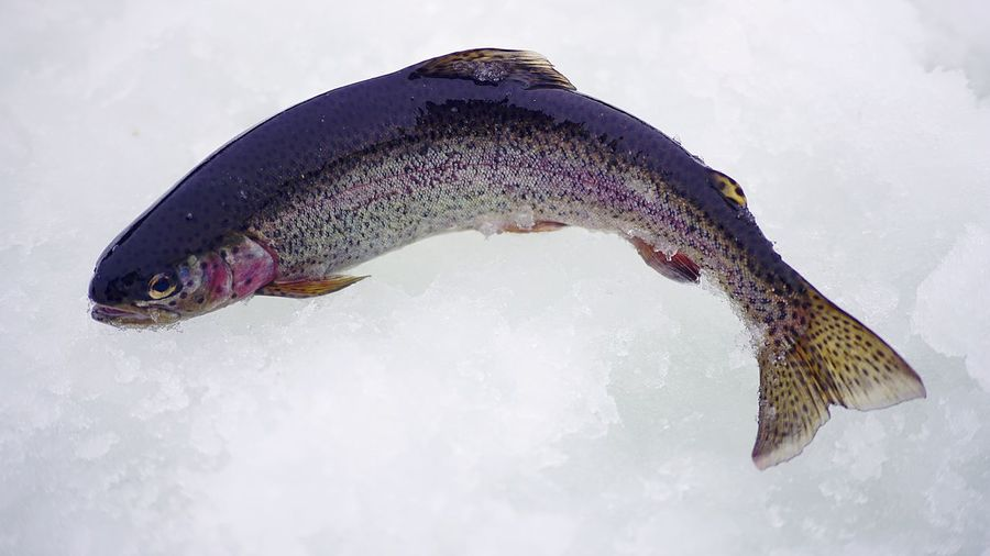 Close-up of fish on snow