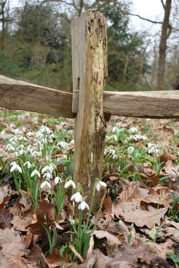 snowdrops and fence Wood - Material Nature Tree Growth Outdoors Beauty In Nature Tree Trunk Day Forest No People Close-up Freshness Nature Soon Be Springtime Kew Gardens NikonD5500