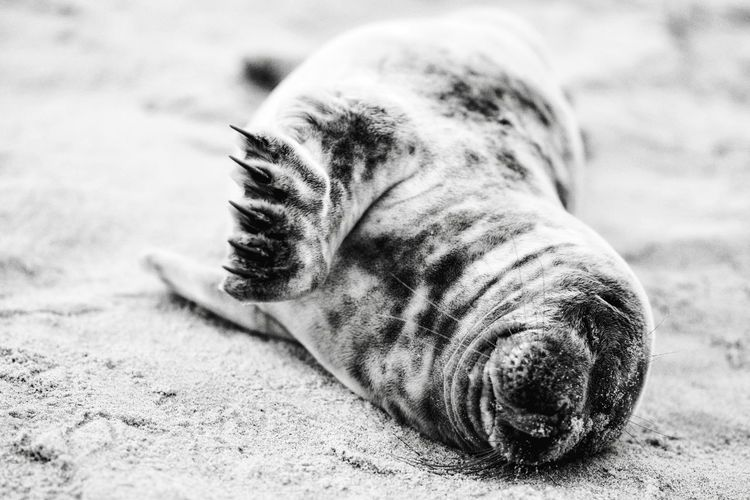 Close-up of seal lying on sand