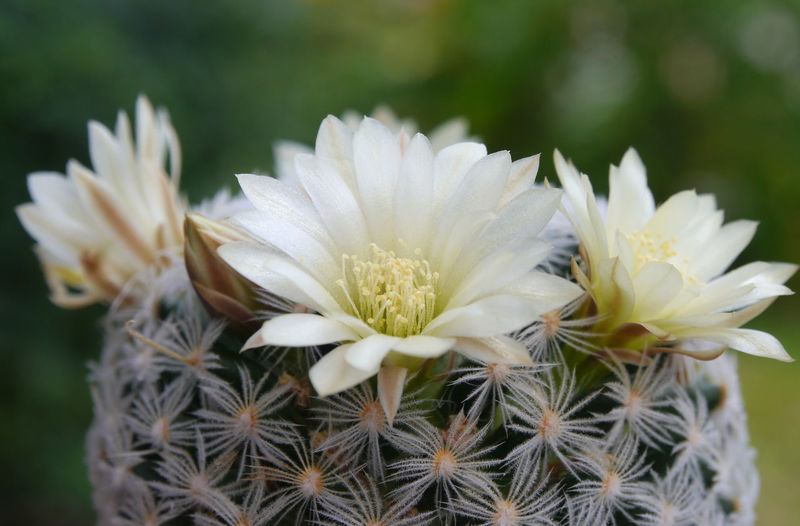 Beautiful cactus flower Beauty In Nature Cactus Close-up Dandelion Seed Day Flower Flower Head Flowering Plant Focus On Foreground Fragility Freshness Growth Inflorescence Nature No People Outdoors Petal Plant Pollen Softness Succulent Plant Vulnerability  White Color