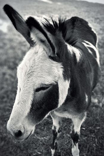 Close-up of a donkey