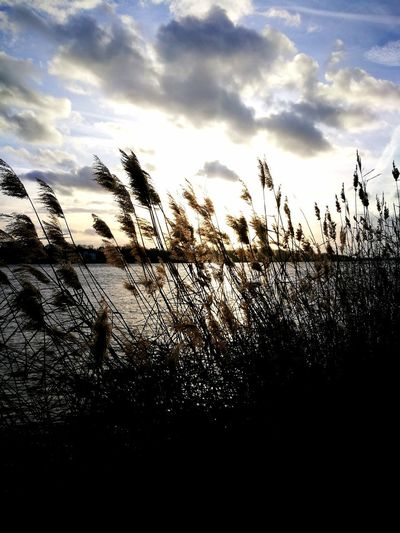 Riverside Reed Reed - Grass Family Sunset Silhouette Sky Cloud - Sky