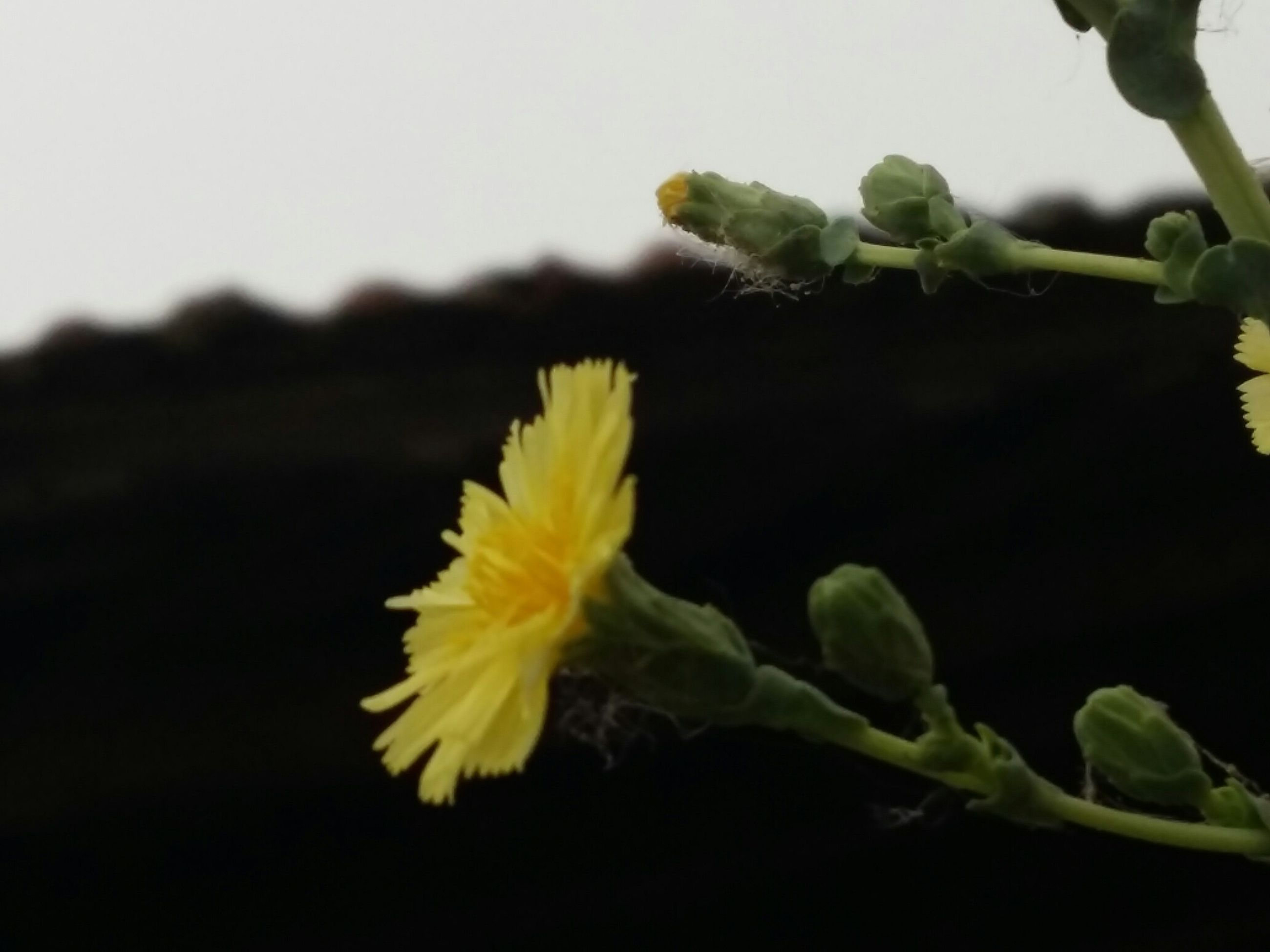 flower, close-up, yellow, plant, freshness, growth, leaf, fragility, petal, nature, focus on foreground, beauty in nature, stem, flower head, green color, studio shot, copy space, no people, single flower, outdoors