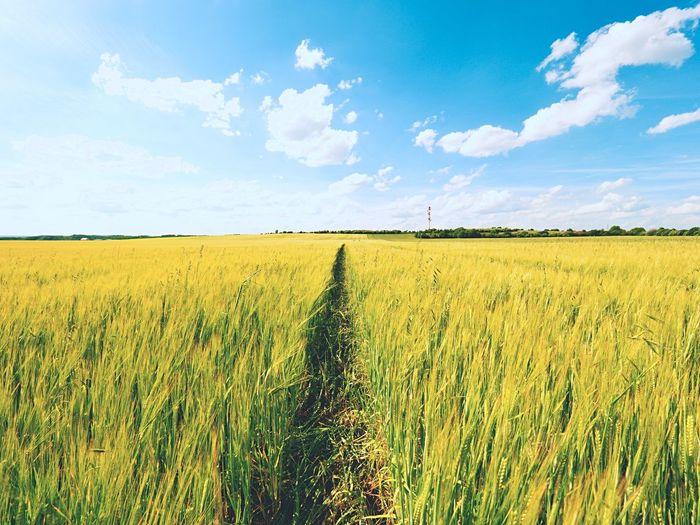 Young green barley corns growing in field, light at horizon. sun above horizon over barley field
