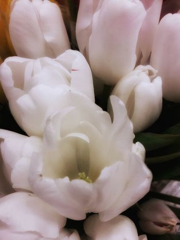 White Tulips with Glow Glowing Tulips Flower Head Tulip Heads Graceful Tulips Editorial  Background Photography Backgrounds Advertising Photography Advertising White Color Flowers, Nature And Beauty Flowers,Plants & Garden Tulips White Tulips Tulips Background Easter Easter Flowers Spring Flowers Spring Blossoms Floral Photography Open White Tulip Garden Photography Nursery Wall Decoration Graceful Indoors  Day