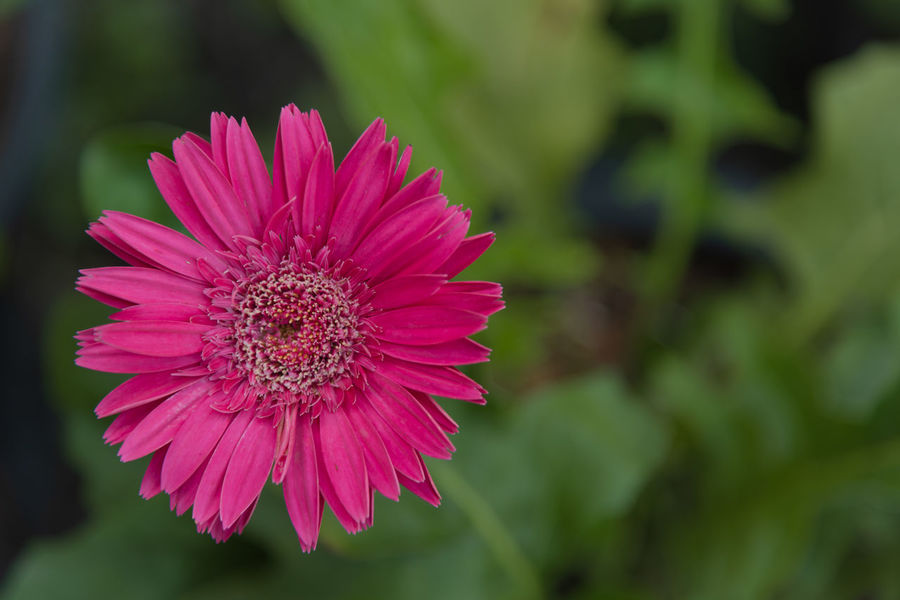 Pink gerbera in garden Beauty In Nature Close-up Day Flower Flower Head Flowering Plant Focus On Foreground Fragility Freshness Growth Inflorescence Nature No People Petal Pink Color Plant Pollen Selective Focus Vulnerability