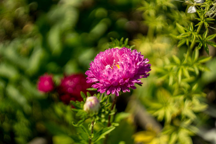 Belarus Minsk Beauty In Nature Close-up Day Flower Flower Head Flowering Plant Focus On Foreground Fragility Freshness Green Color Growth Inflorescence Leaf Nature No People Outdoors Petal Pink Color Plant Purple Selective Focus Vulnerability