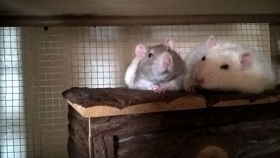 Tedy and robin Animal Pet Rat Rats Cutie Rattie Ratte Animals ᴘʜᴏᴛᴏ Ratstagram