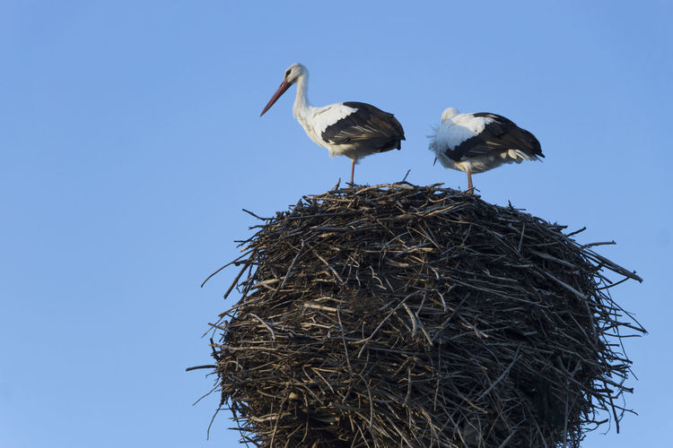 Stork Animal Nest Animal Themes Animal Wildlife Animals In The Wild Beauty In Nature Bird Bird Nest Blue Clear Sky Close-up Day Low Angle View Nature No People Outdoors Perching Sky Stork Togetherness White Stork