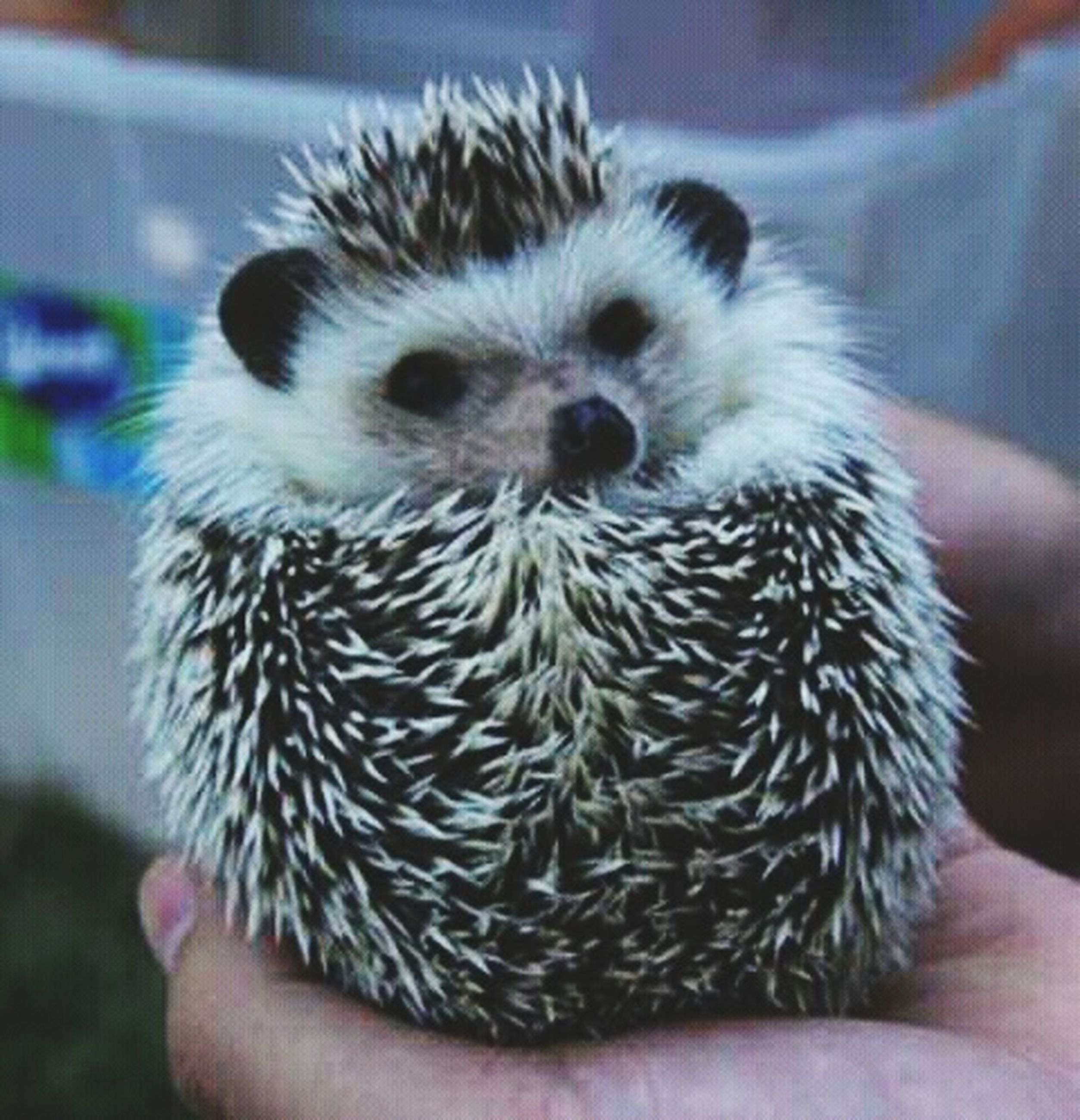 real people, human hand, animal themes, holding, focus on foreground, one animal, unrecognizable person, one person, close-up, indoors, home interior, human body part, hedgehog, nature, animals in the wild, day, mammal